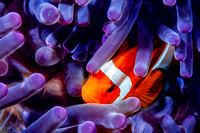 Western Clown Anemonefish